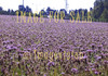 for sale flower field of violet thistles