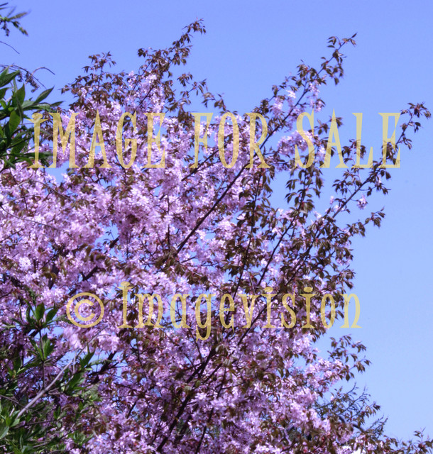 for sale lovely pink flower tree