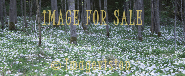 for sale white flower field against dark forest