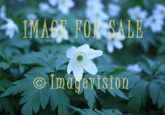 for sale one white sad flower in group