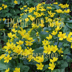 for sale group of yellow spring flowers