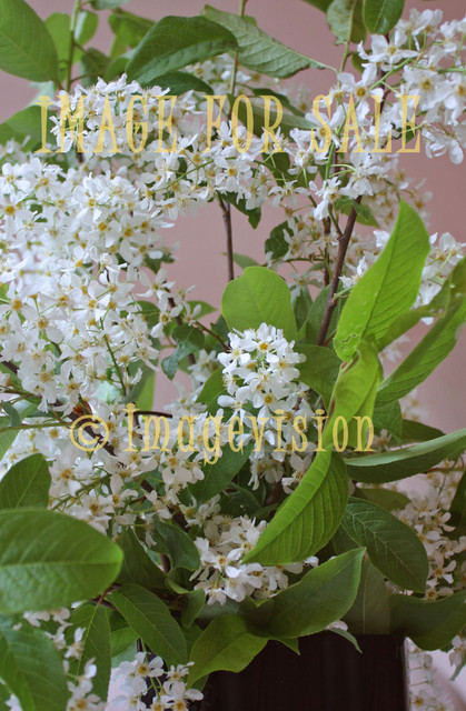 for sale bird cherry tree in white flowes