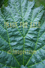 for sale fantastic pattern of rhubarb leave