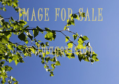 for sale green birch leaves against sky