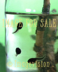 for sale baby frogs swimming
