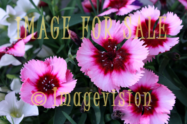for sale pink summer flowers