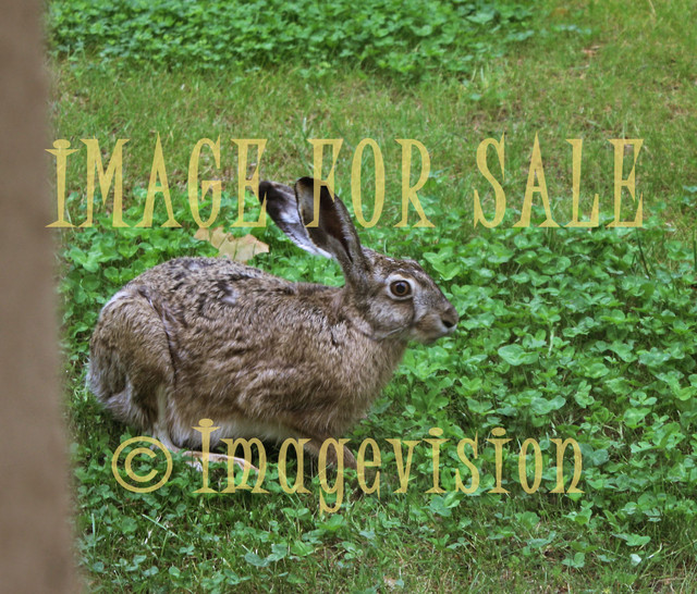 for sale wild brown hare and clovers
