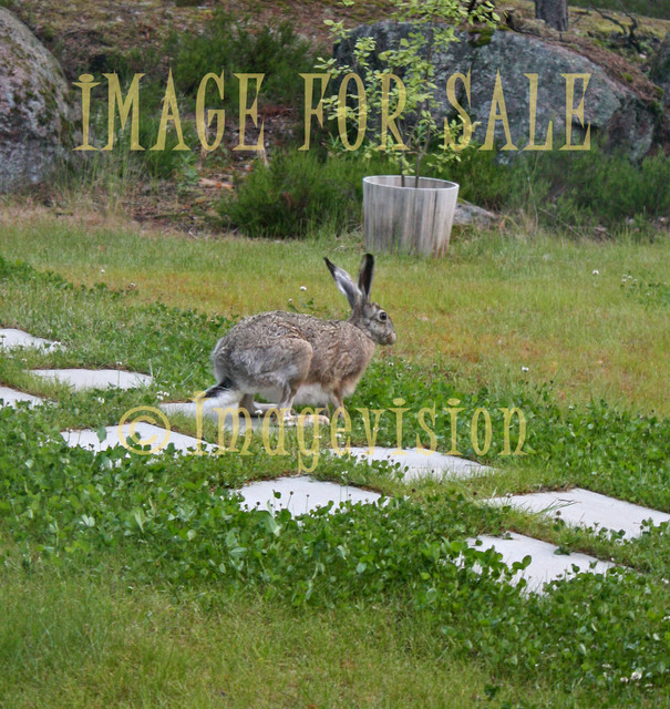 for sale wild brown hare ready to jump