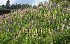 for sale lupinus scenery on road banks