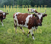 for sale cattle with horns