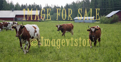 for sale cows walking on field
