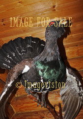 for sale noble capercaillie