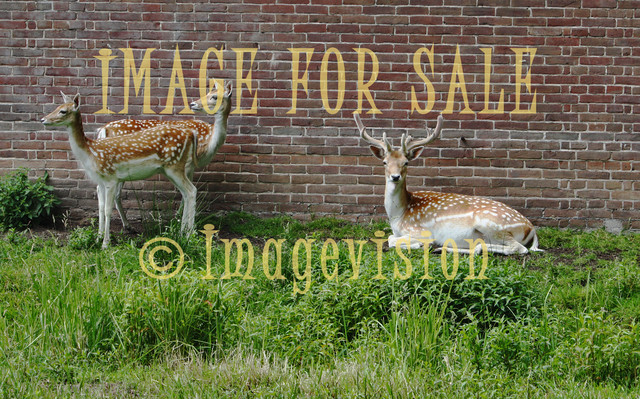 for sale three deers resting