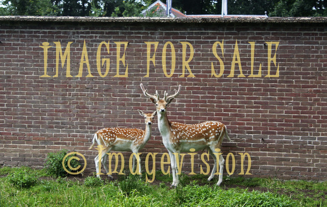 for sale two deers