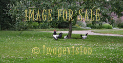 for sale roosters under apple tree