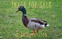 for sale wild duck in the park