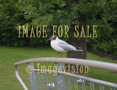 for sale seagull in the park