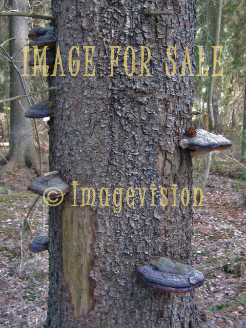 for sale fungus on a tree