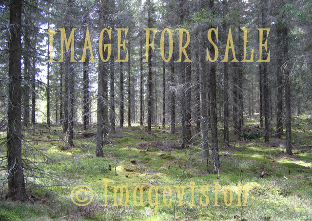 for sale spruces growing