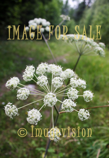 for sale wild parsley blooming