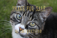 for sale eyes of a cat