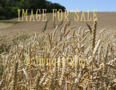 for sale grain field
