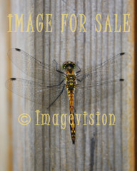 for sale beautiful dragonfly
