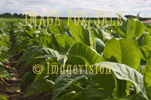 for sale tobacco field