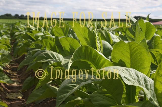 for sale tobacco field