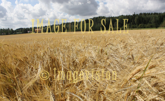 for sale barley field in finland