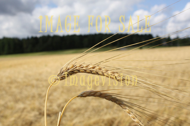 for sale barley is ready