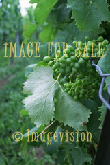 for sale green raw grapes for wine