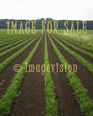 for sale long rows of carrots
