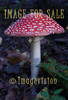 for sale red poisonous mushroom