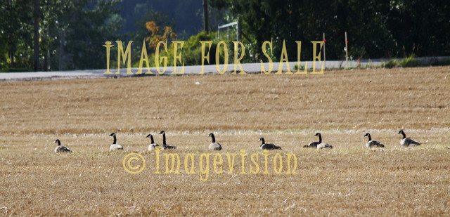 for sale geese gathering to migrate