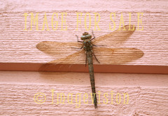 for sale dragonfly on wall