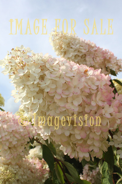 for sale giant pink-white flower cluster