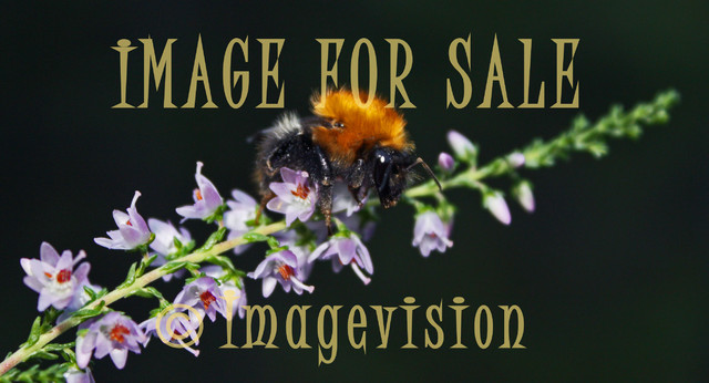 for sale bee hunting for honey