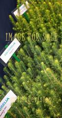for sale spruce saplings of finforelia