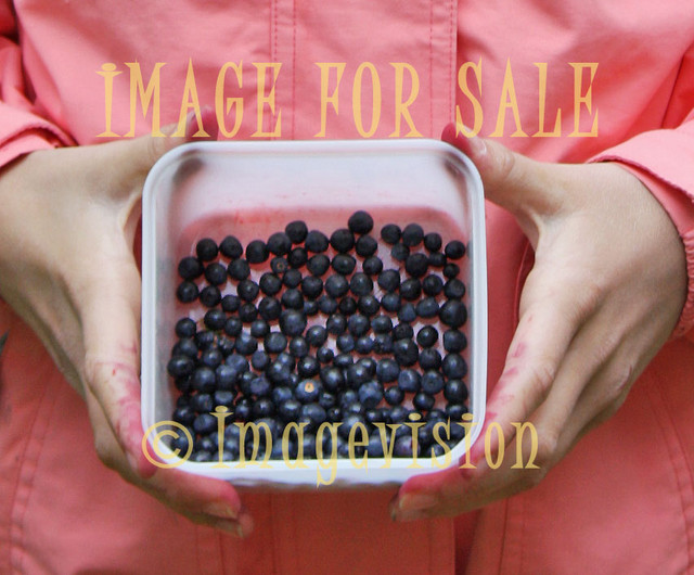 for sale blueberry harvest