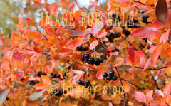 for sale aronia in autumn colours