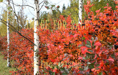 for sale aronia leaves and birches