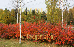 for sale autumn in bushes and birches