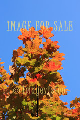 for sale maple leaves on autumn colours