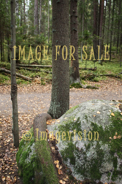 for sale spruce rooted around stone