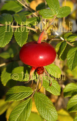 for sale rose hip and ladybird