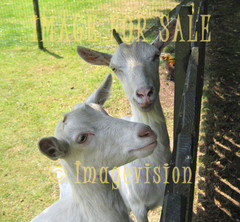 for sale curious goats