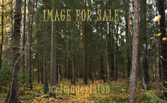 for sale spruce forest in autumn