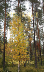 for sale tall pines and birch in autumn