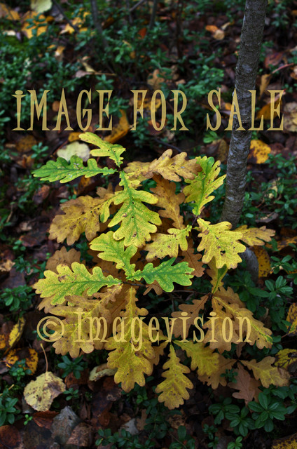 for sale oak leaves in autumn colours